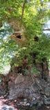 2000棵岁古老法国梧桐树在欧洲位于vi 免版税图库摄影