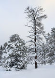 2棵杉树 库存图片
