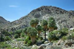 49棵棕榈绿洲在约书亚树国家公园 免版税图库摄影