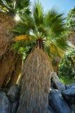 49棵棕榈绿洲在约书亚树国家公园 图库摄影