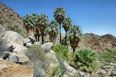 49棵棕榈绿洲在约书亚树国家公园 库存图片