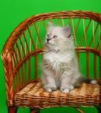 椅子小猫 免版税库存图片