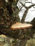 椋木树蘑菇 免版税库存照片