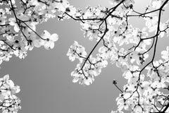 椋木树 库存照片