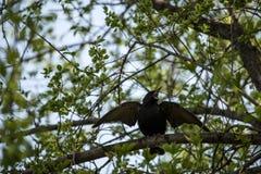 椋鸟传播翼 库存照片
