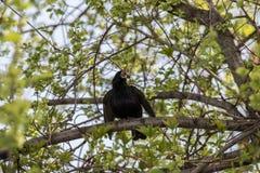 椋鸟唱歌 免版税库存图片