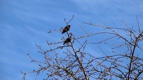 椋鸟在春天飞回家到他们的当地庭院,坐树唱歌 股票视频