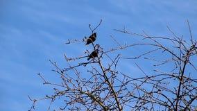 椋鸟在春天飞回家到他们的当地庭院,坐树唱歌 影视素材
