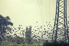 椋鸟大群在sleepover前的在密集的群集中了 免版税库存照片
