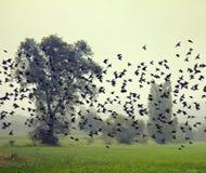 椋鸟大群在sleepover前的在密集的群集中了 免版税库存图片