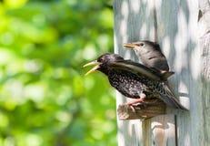 椋鸟科和他的刚孵出的雏 免版税库存图片