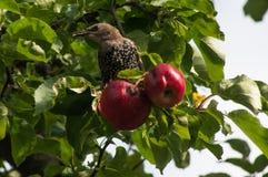 椋鸟科在奈达的啄苹果计算机 免版税库存照片