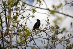 椋鸟科在春天坐一个分支 免版税库存照片