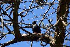 椋鸟科在春天坐一个分支 免版税库存图片
