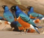 椋鸟科鸟在坦桑尼亚 免版税图库摄影