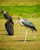 椋鸟科-乌干达 库存图片