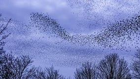 椋鸟米尔顿凯恩斯的Murmuration 免版税库存照片