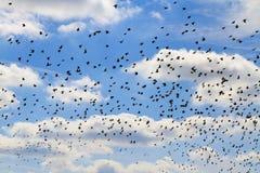 椋鸟群在一朵蓝天和白色云彩的 免版税图库摄影