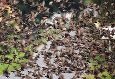 椋鸟群在飞行的 免版税图库摄影