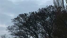 椋鸟群从树飞行 股票录像
