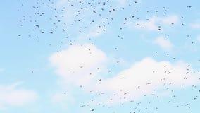 椋鸟飞行并且坐掩藏在叶子的树 股票视频
