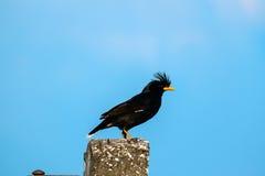 椋鸟鸟或白被放气的Myna或Acridotheres grandis在岗位 免版税库存照片