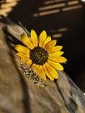 植入向日葵 免版税图库摄影