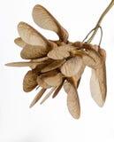 植入美国梧桐 Acer Pseudoplatanus 翼果 免版税库存照片
