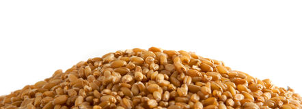 植入麦子 库存照片