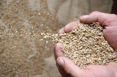 植入麦子 库存图片