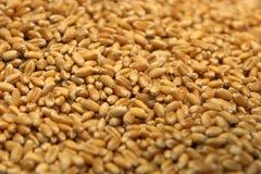植入麦子 免版税库存照片