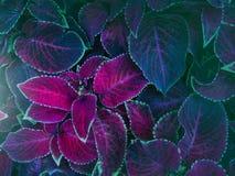 植物Ñ  oleus伯根地特写镜头 库存图片