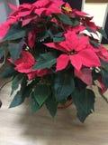 植物一品红 库存图片