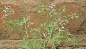 植物从具体断裂增长通过沥青 股票录像
