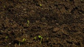 植物从地面增长 定期流逝 股票视频