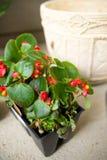 植物准备好装壶 库存照片