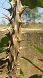 植物刺 库存图片