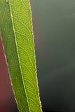 植物叶子 静脉 图库摄影