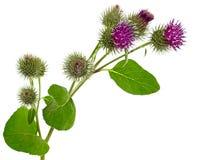 植物名植物,牛蒡属lappa 库存图片