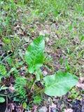 年轻植物名植物& x28; 牛蒡属lappa & x29; 库存图片