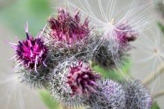 植物名,宏指令花,户外 牛蒡属lappa 图库摄影