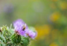 植物名-牛蒡属lappa -,并且蜂蜜蜂 免版税库存图片