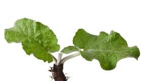植物名 图库摄影