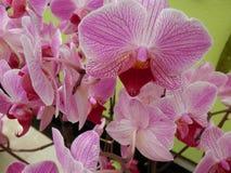 植物园兰花开花和桃红色的紫罗兰 库存图片