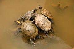 植物园筑成池塘新加坡水龟 免版税库存图片