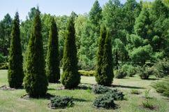 植物园金字塔形树02 05 2018年 免版税图库摄影