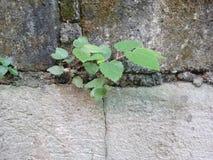 植物在墙壁上增长 库存照片