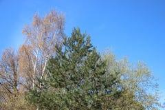 植物在春天的发芽年轻绿色叶子 另外树 免版税库存照片