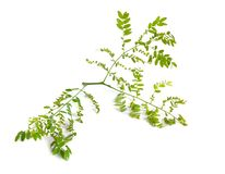植物在白色背景隔绝的Gleditsiaor蝗虫 免版税库存照片
