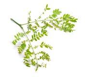 植物在白色背景隔绝的Gleditsiaor蝗虫 免版税库存图片